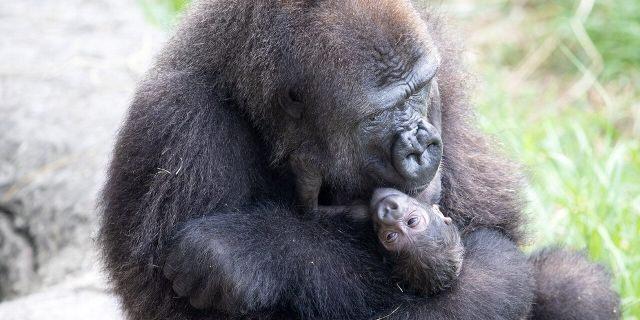 Audubon Zoo Welcomes Critically Endangered Gorilla Baby