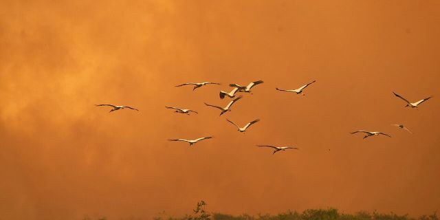 Birds fly past as a fire consumes an area next to the Trans-Pantanalhighway in the Pantanal wetlands near Pocone, Mato Grosso state, Brazil, Friday, Sept. 11, 2020. As of Sept. 13, 19% of the Pantanal had been consumed by fire, according to a satellite laboratory at the Federal University of Rio de Janeiro. (AP Photo/Andre Penner)