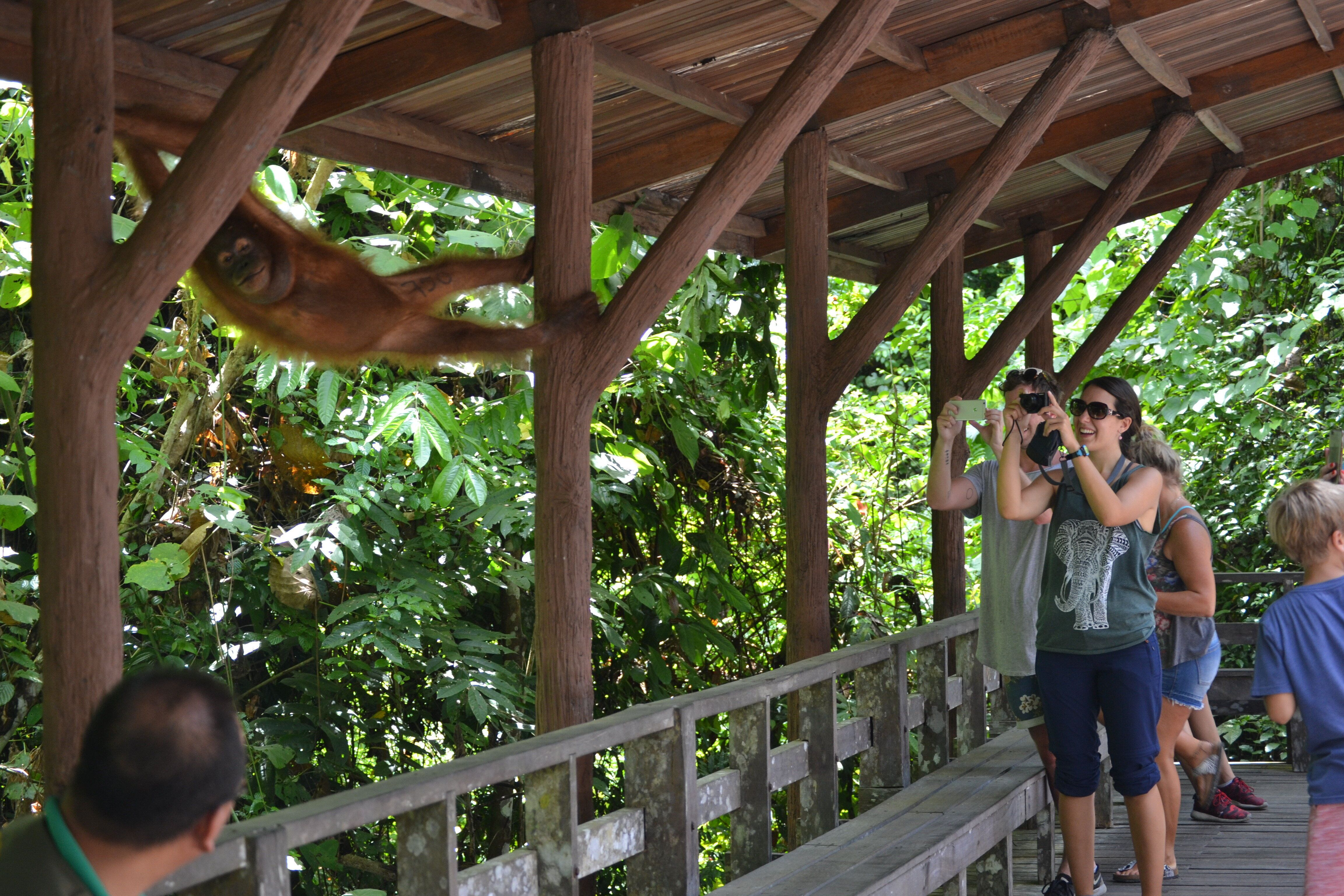 Visitors get right up close to an orangutan at the Bornean Sun Bear Conservation Centre in Malaysia.
