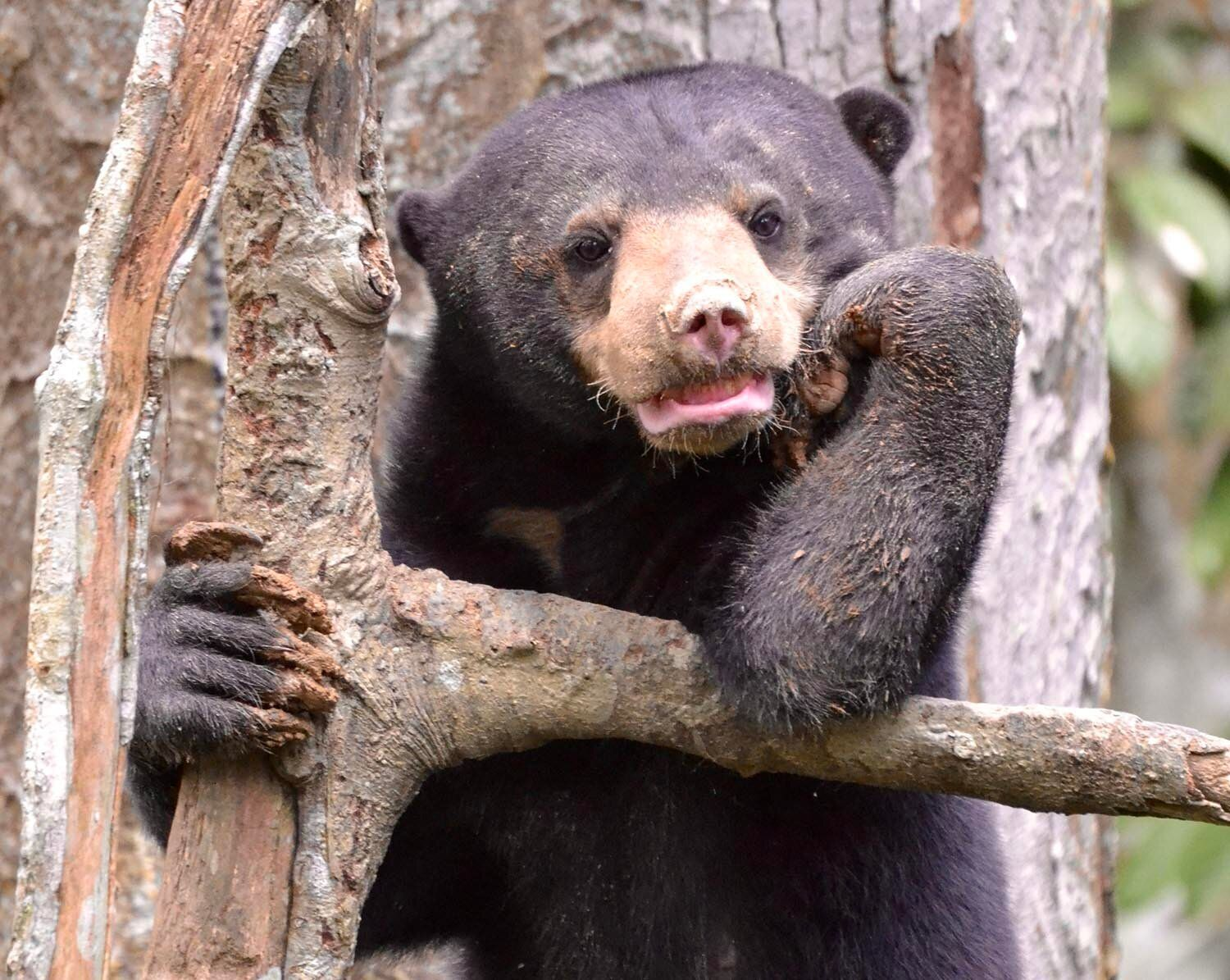 The Bornean Sun Bear Conservation Centre relies on revenue from foreign tourists to feed its 43 sun bears. It buys fruits and