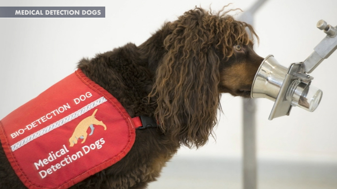 Dogs training to sniff out coronavirus in Britain