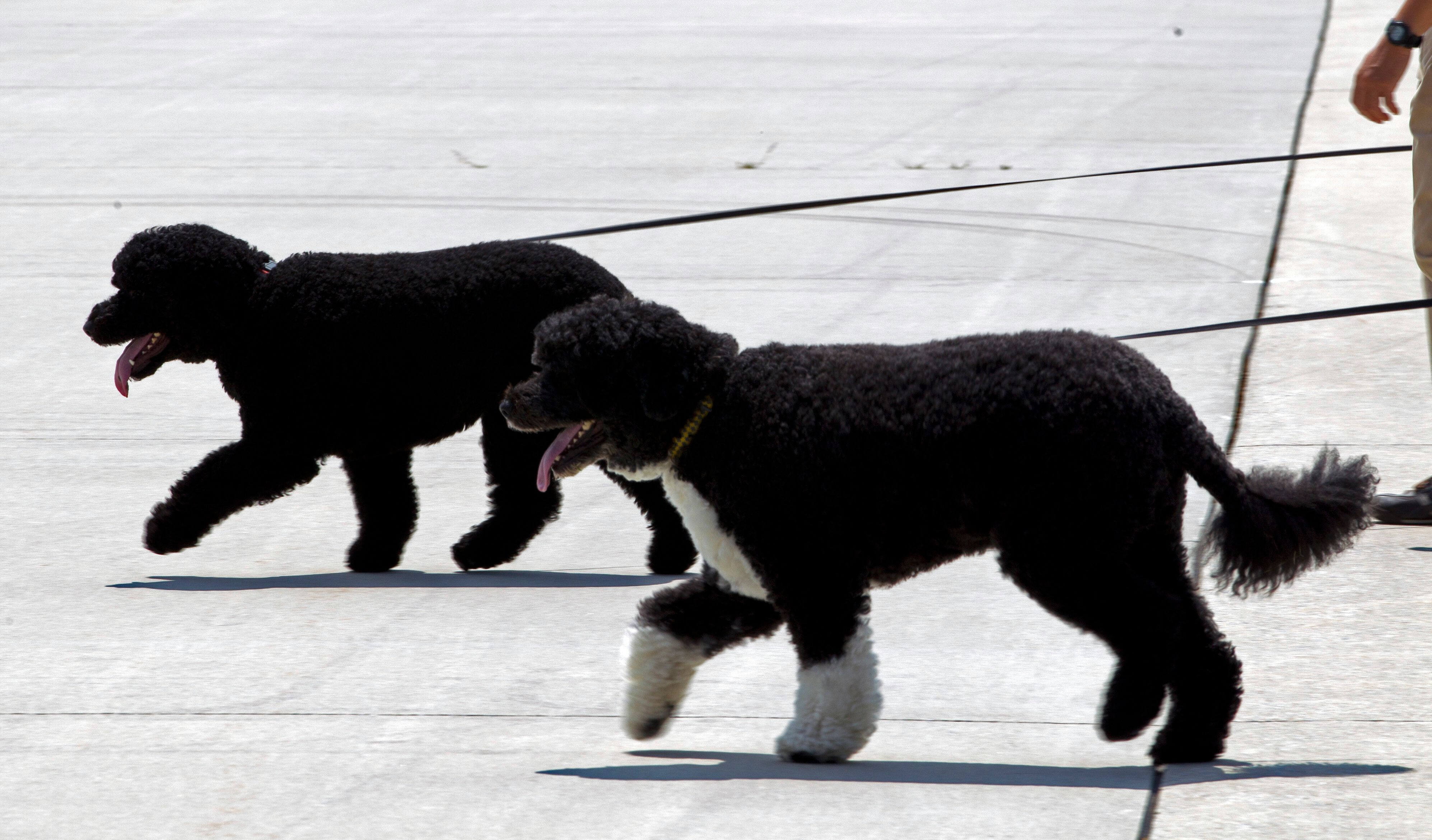 Bo and Sunny walk on the tarmac by their handlers to board Air Force One before the arrival of President Barack Obama and his