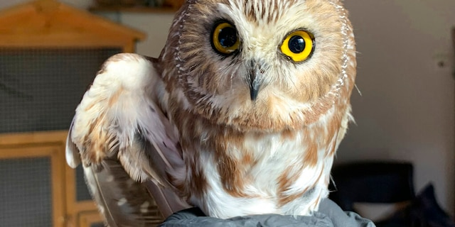 A tiny owl was found to be living inside NYC's Rockefeller Center tree in November.
