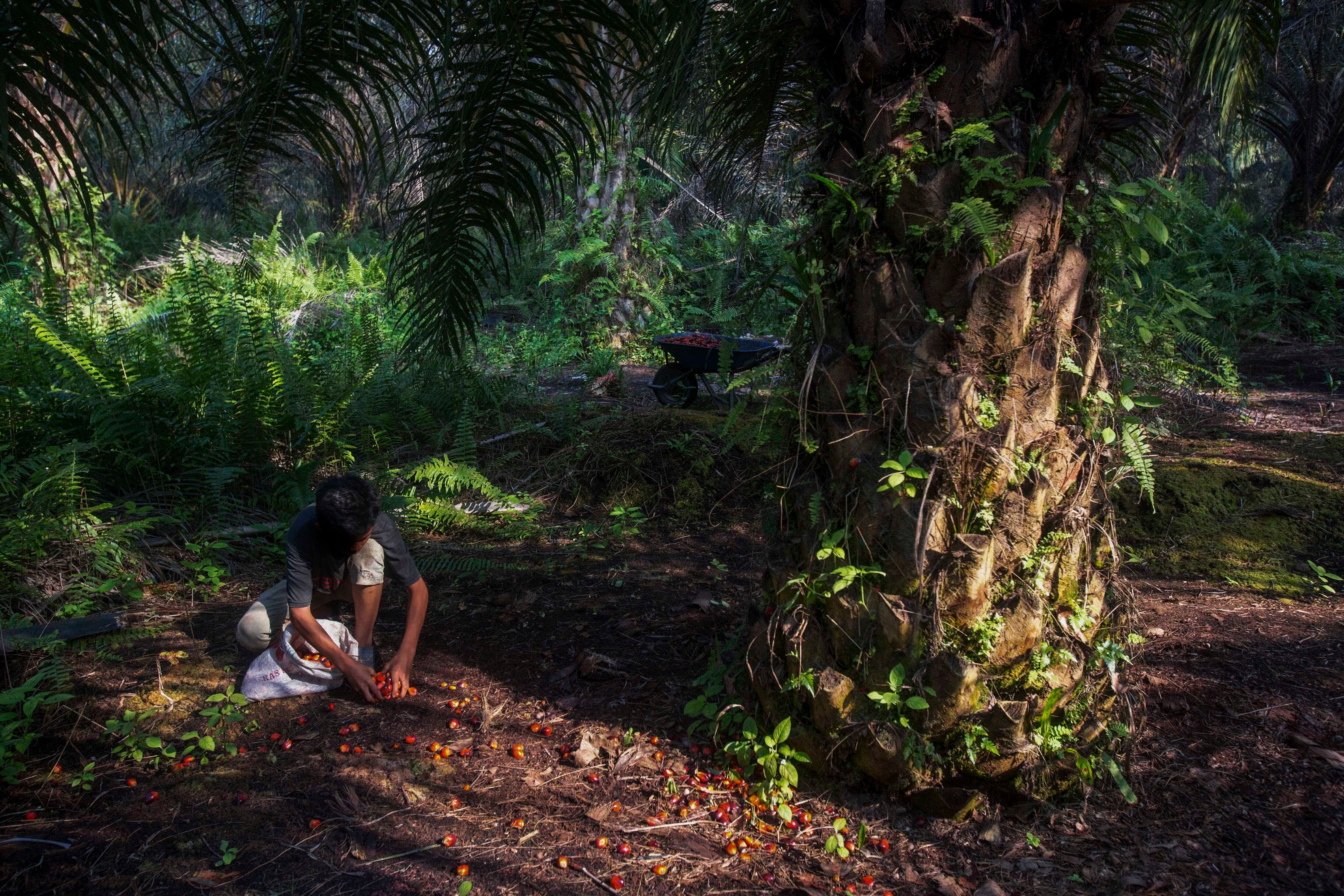 A boy collects palm kernels from the ground at a palm oil plantation in Sumatra, Indonesia. The U.N.'s International Labor Or