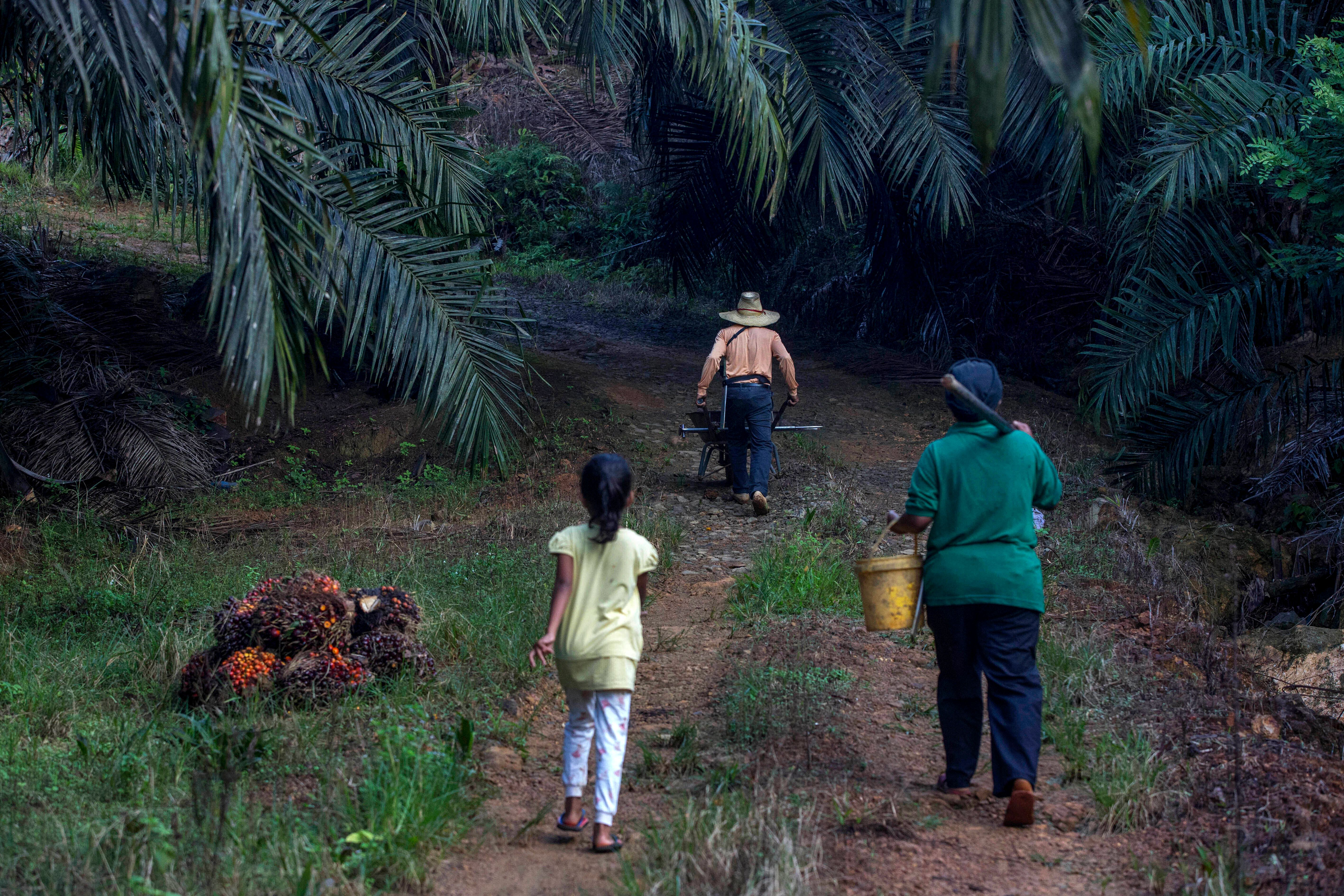 A little girl helps her parents work on a palm oil plantation in Sabah, Malaysia. Many children gather loose kernels and clea