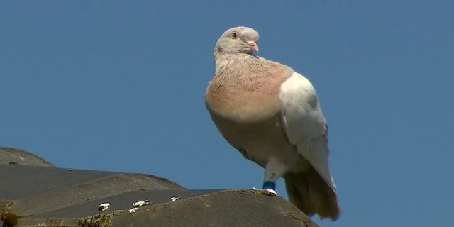 Experts suspect the pigeon hitched a ride on a cargo ship to cross the Pacific. (AP/Channel 9)
