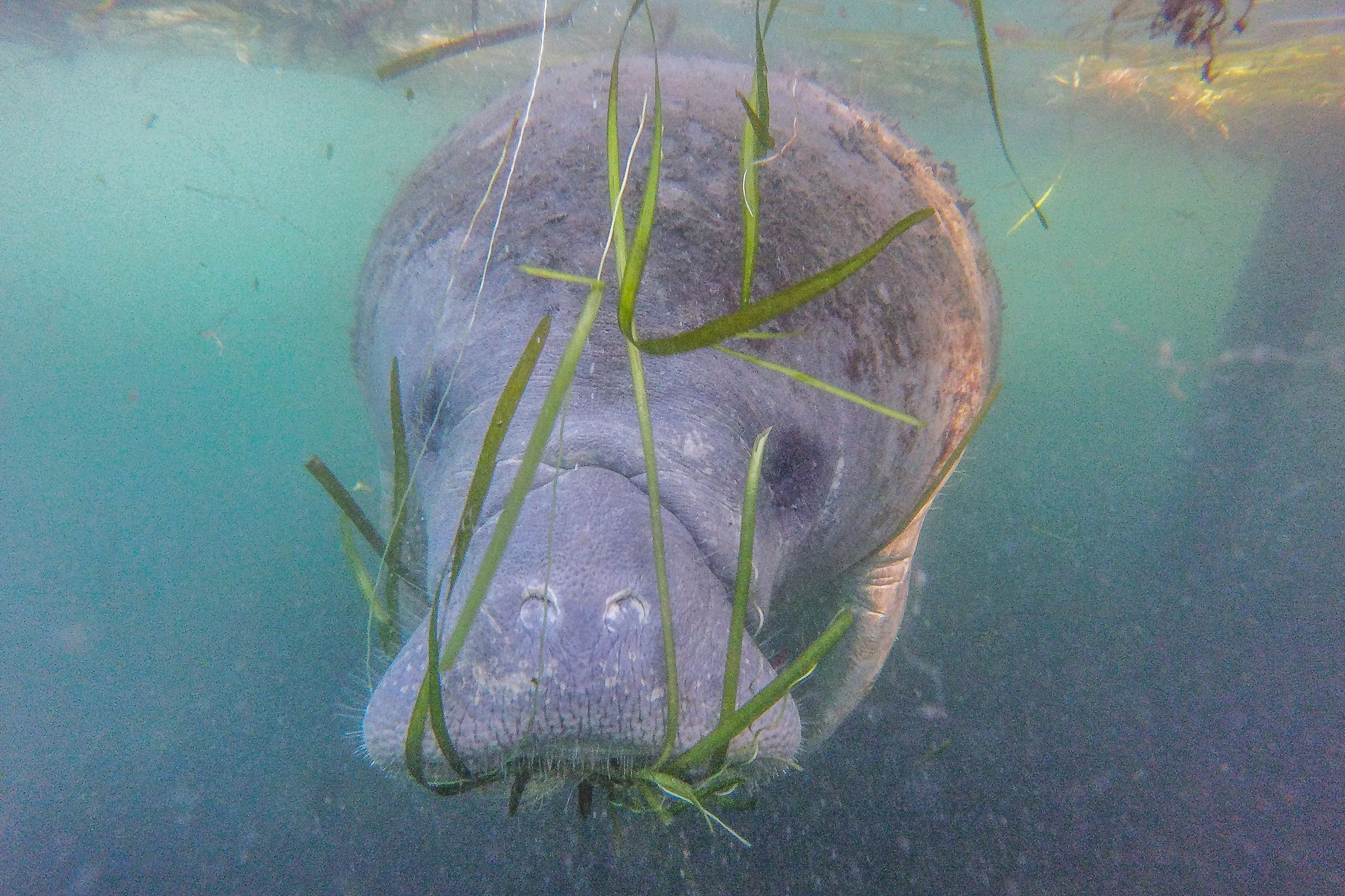A manatee swims beside a tour boat in the Crystal River Preserve State Park on Jan. 7, 2020, in Crystal River, Florida. Hundr