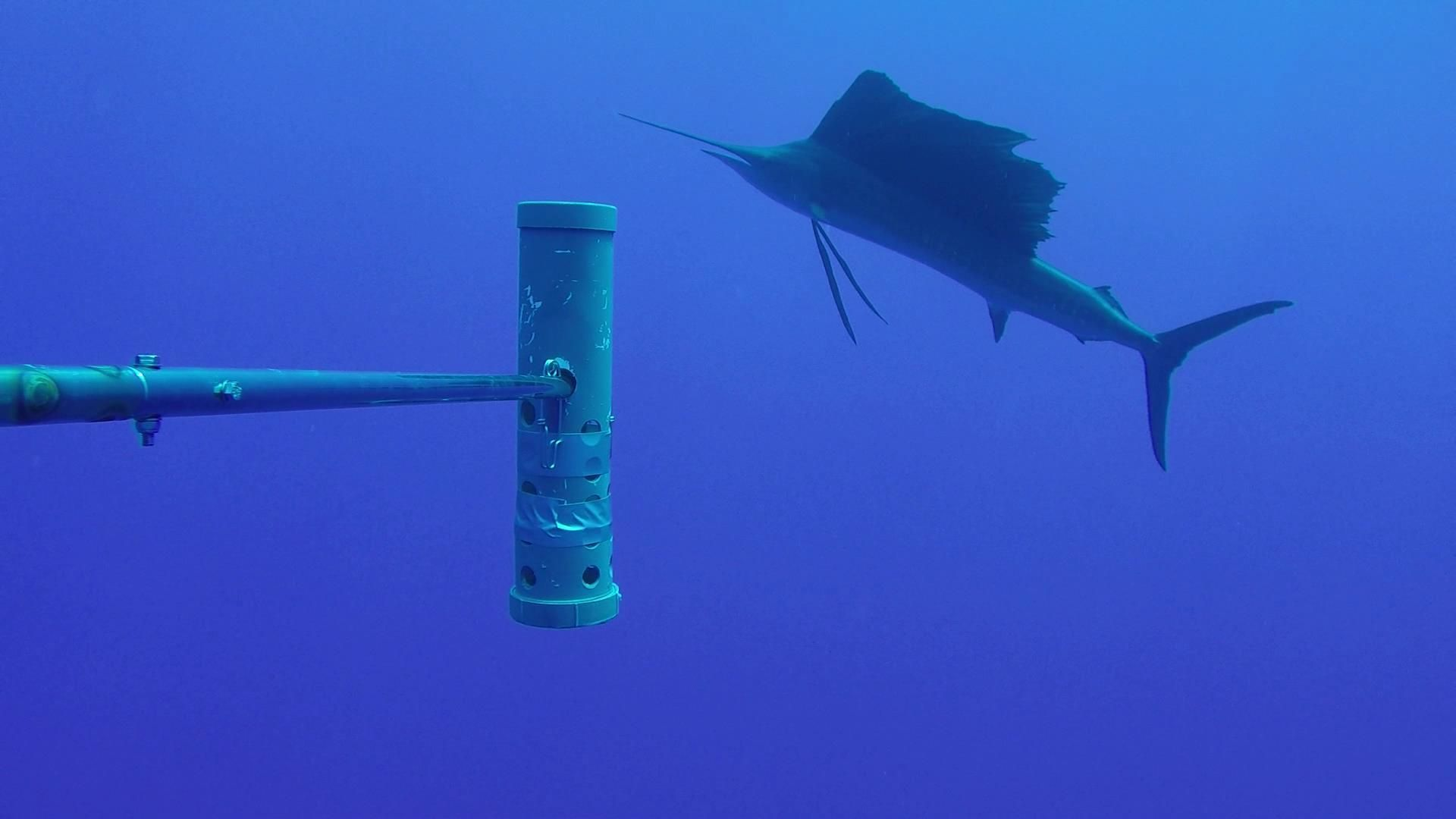 An Atlantic sailfish captured by one of the underwater camera systems.