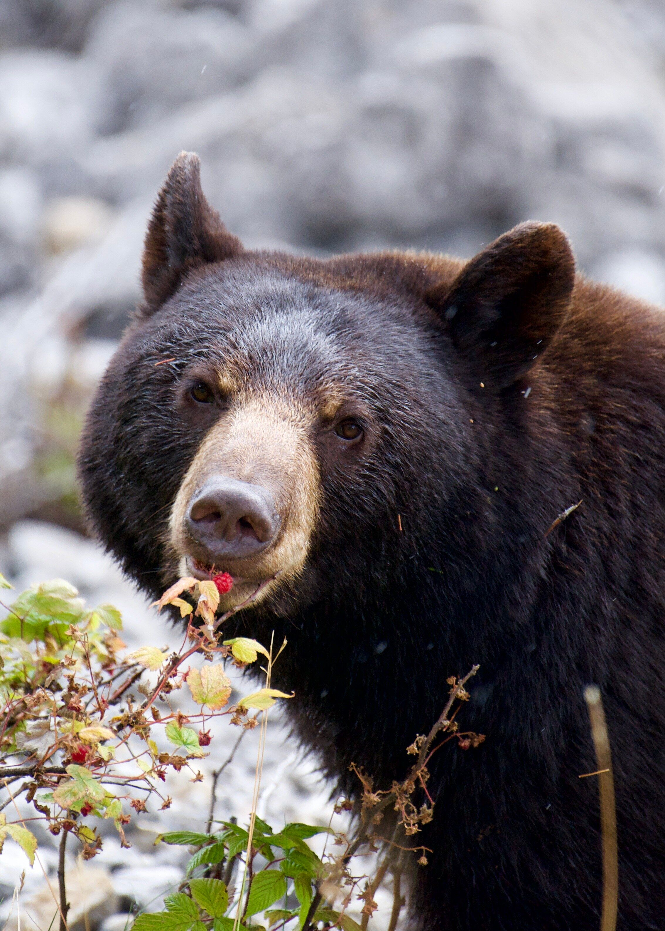 Am American black bear eats a raspberry in a forest.