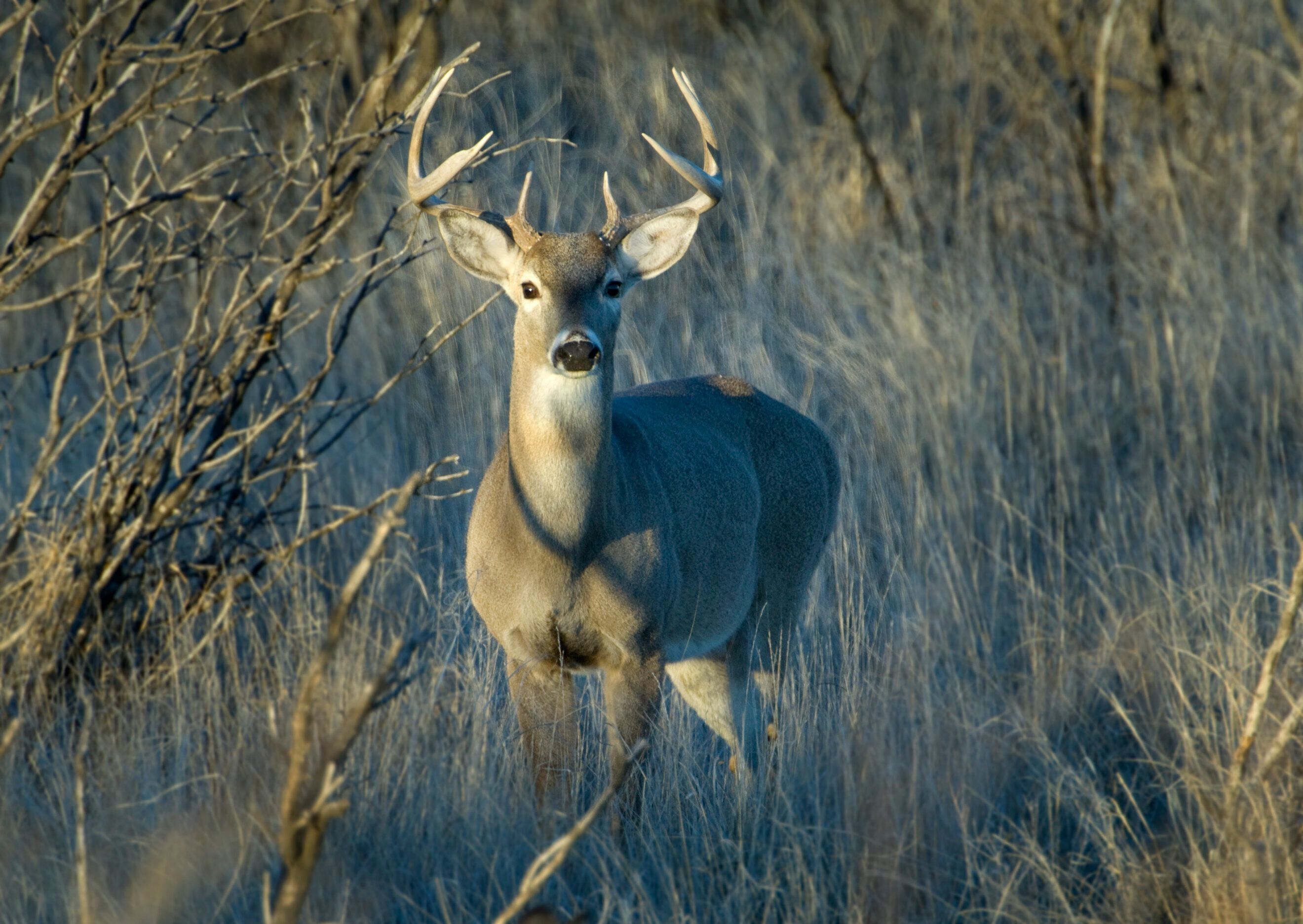 A whitetail deer in the mesquite of Texas.
