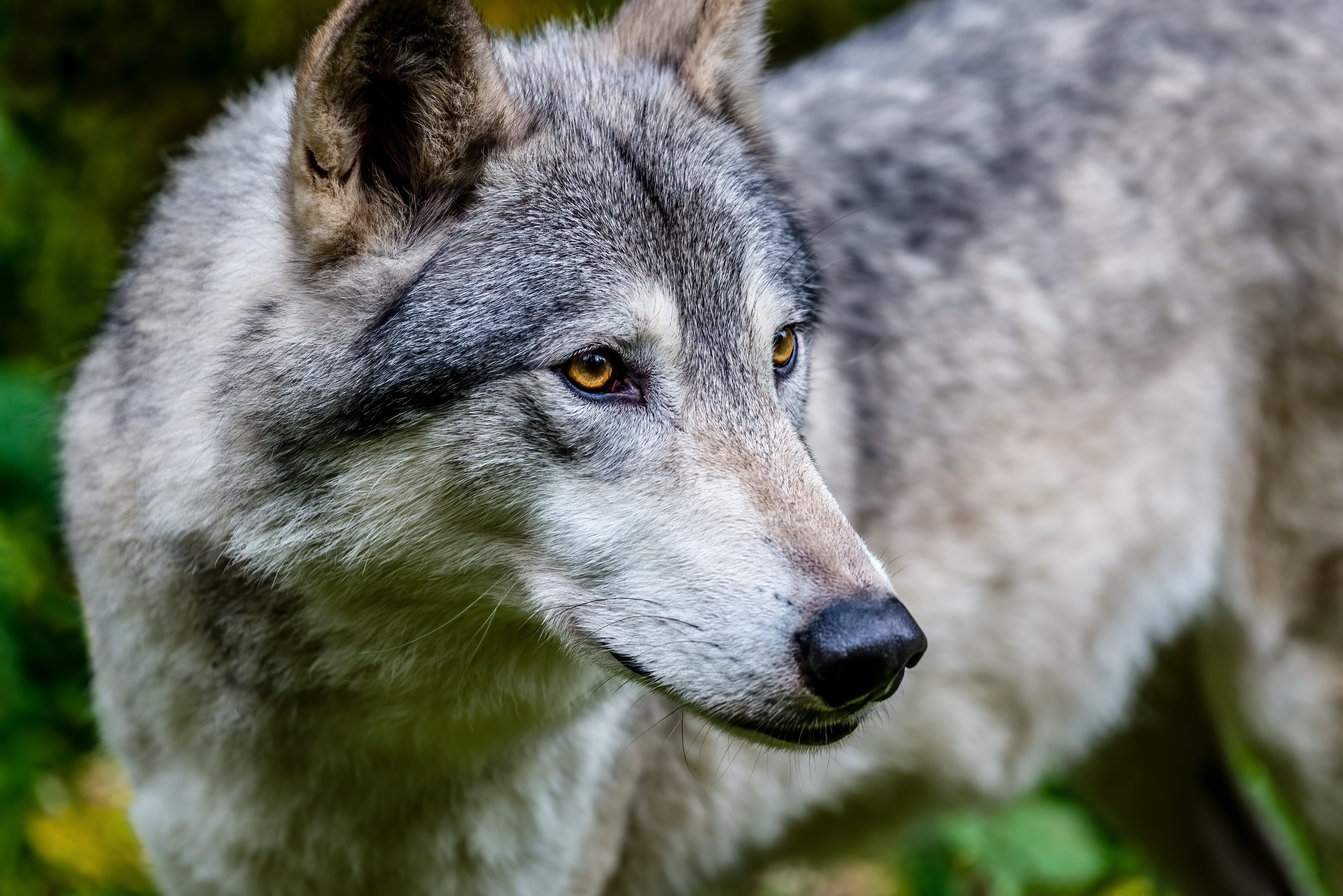 Close-up of a gray wolf in Alaska.