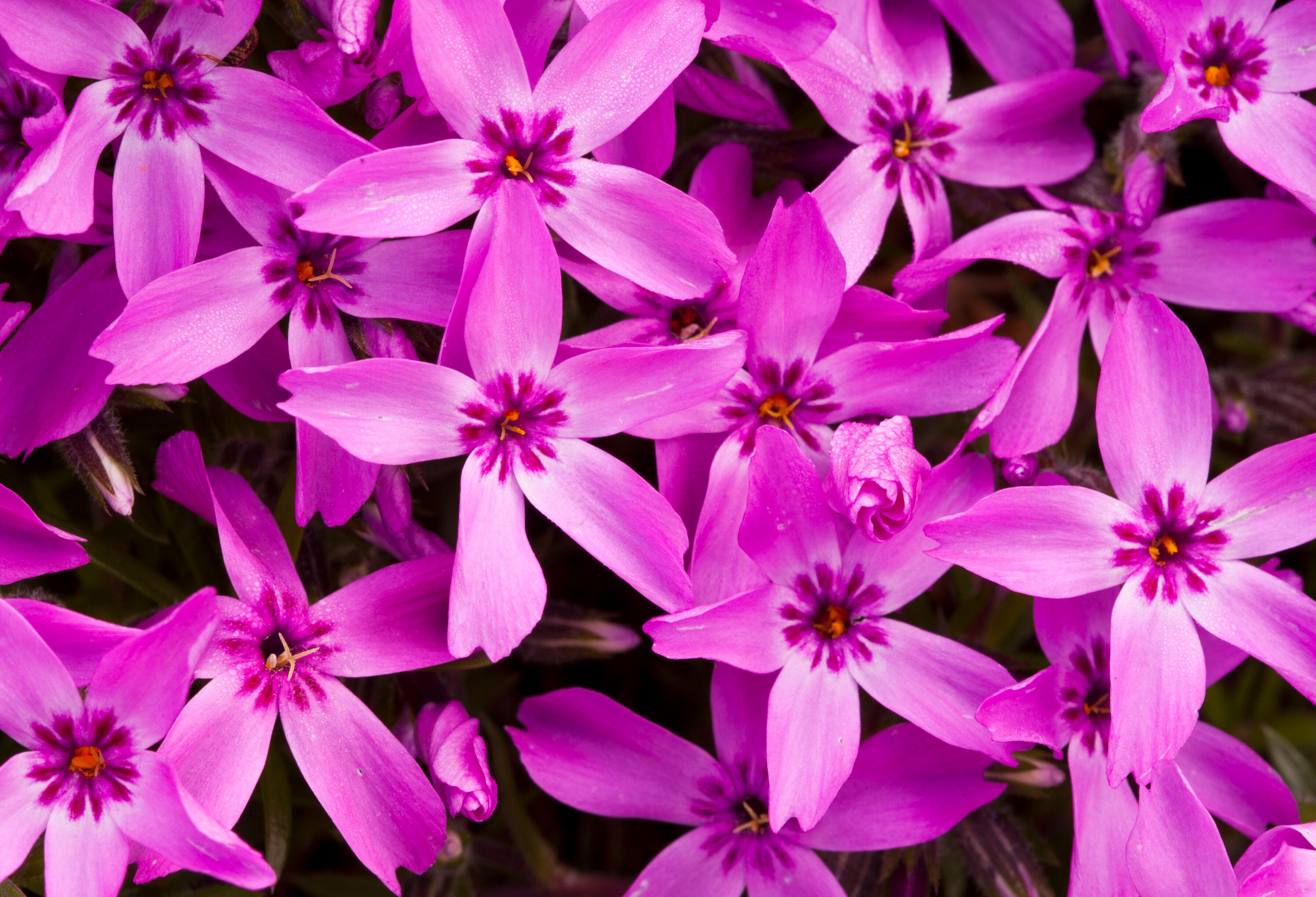 Moss pink, pictured, is the flower that inspired the name of April supermoons.