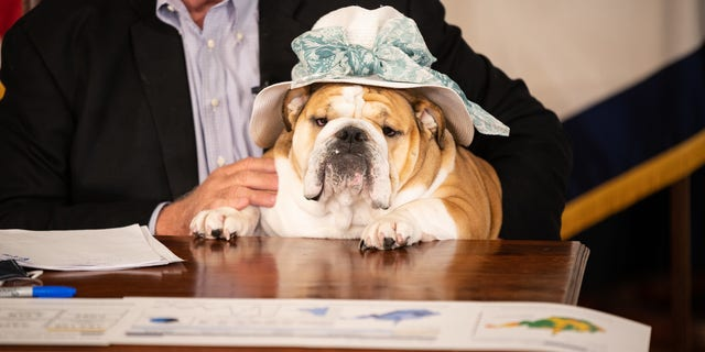 West Virginia Governor Jim Justice's English bulldog wears a hat. The dog is the face of the state's COVID-19 vaccination rollout. (Picture courtesy of the Office of Governor Jim Justice).