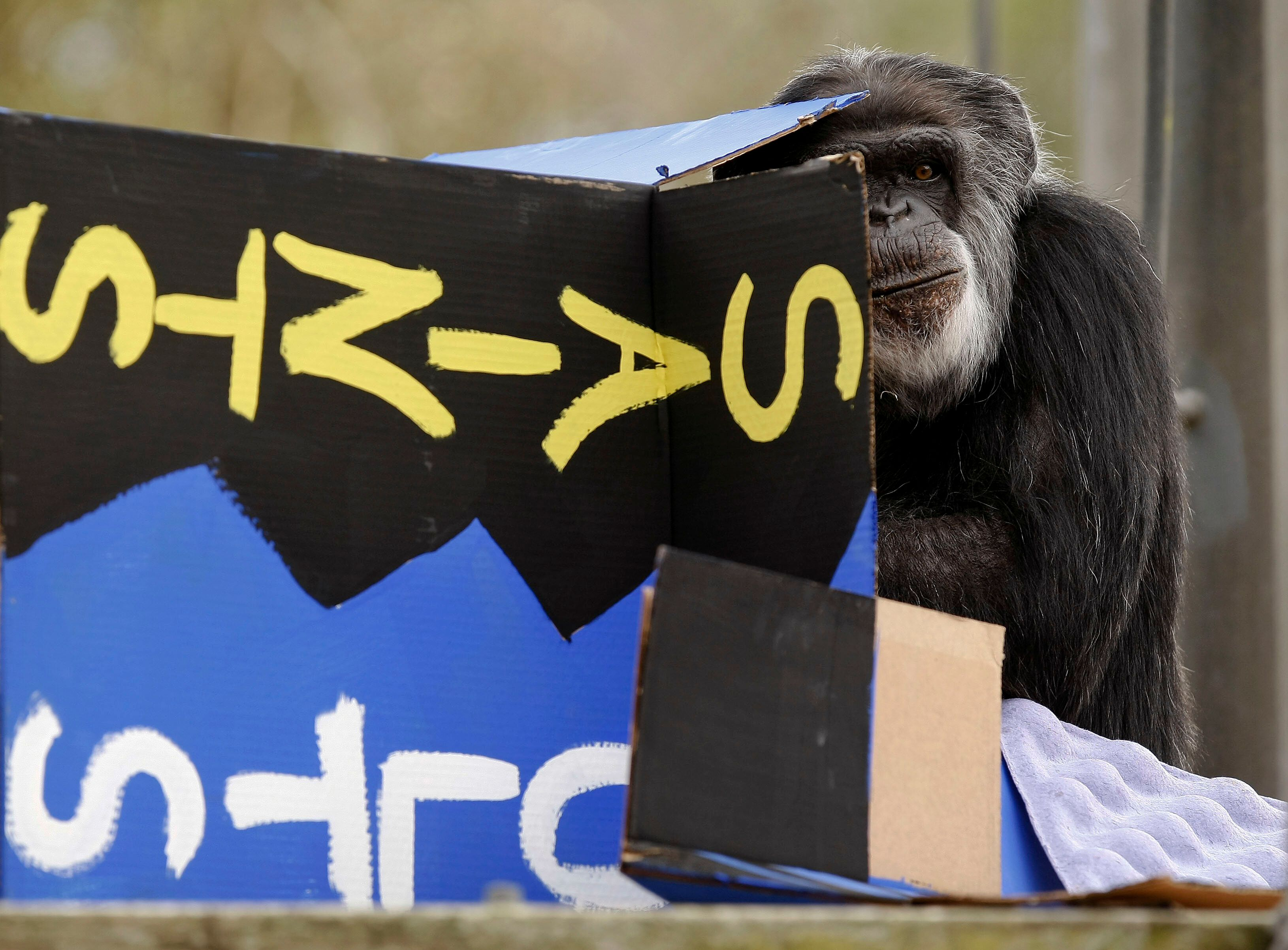 Cobby, the oldest male chimpanzee living in an accredited North American zoo, has died.