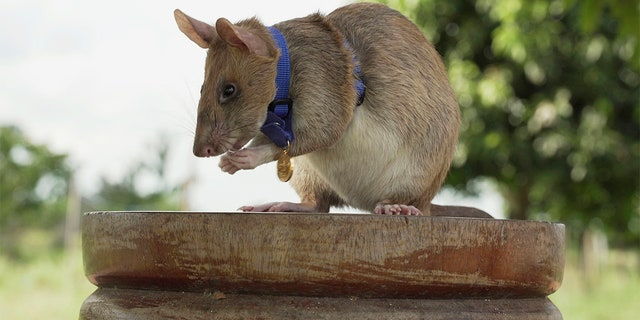 This undated file photo provided by the People's Dispensary for Sick Animals (PDSA) shows Cambodian landmine detection rat, Magawa, wearing his PDSA Gold Medal, the animal equivalent of the George Cross, in Siem, Cambodia.
