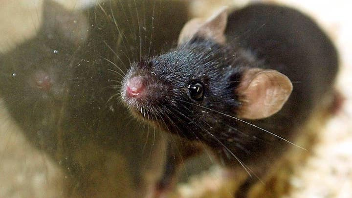 Blood from teenagers used to rejuvenate old mice