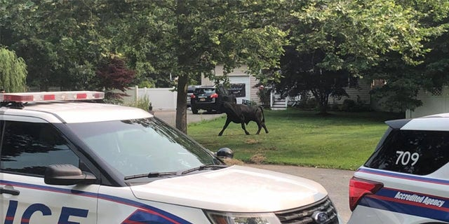 As of Wednesday morning, the bull was still on the loose.
