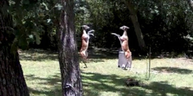 Gay Isber Miller captured the footage during a family get-together at her home in Lake Somerville, Texas.