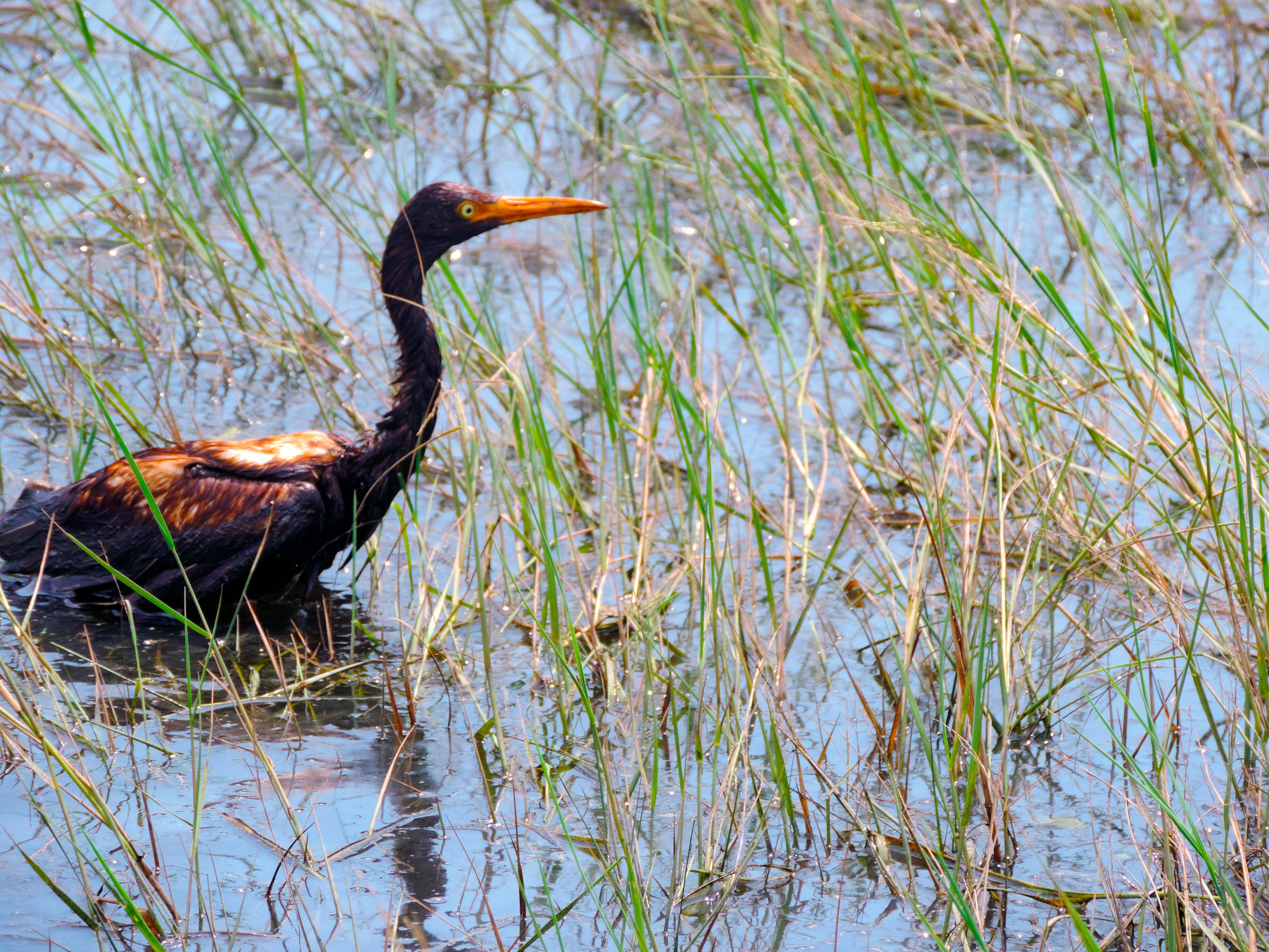 An oiled tricolored heron in the water at the Alliance Refinery oil spill in Belle Chasse.